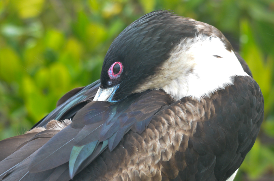 great frigatebird This page should be cited as: great frigatebird – fregata minor, wetlandinfo, department of environment and science, queensland, viewed 15 august 2018, https.