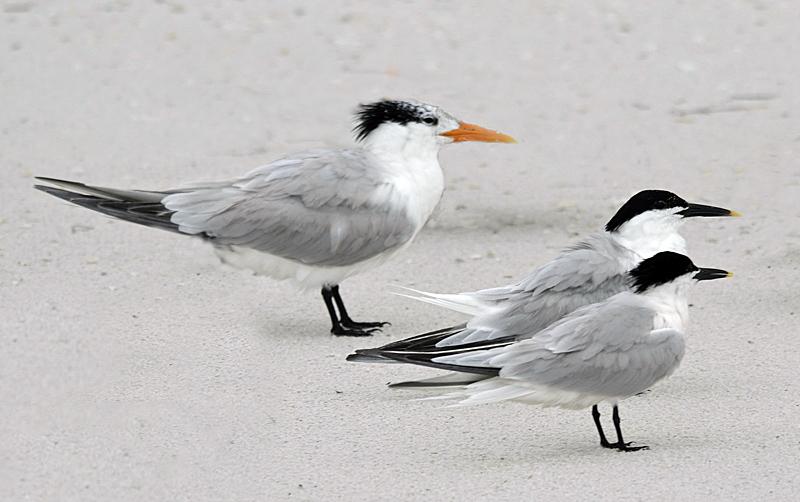 Tern_Sandwich on Birds Page