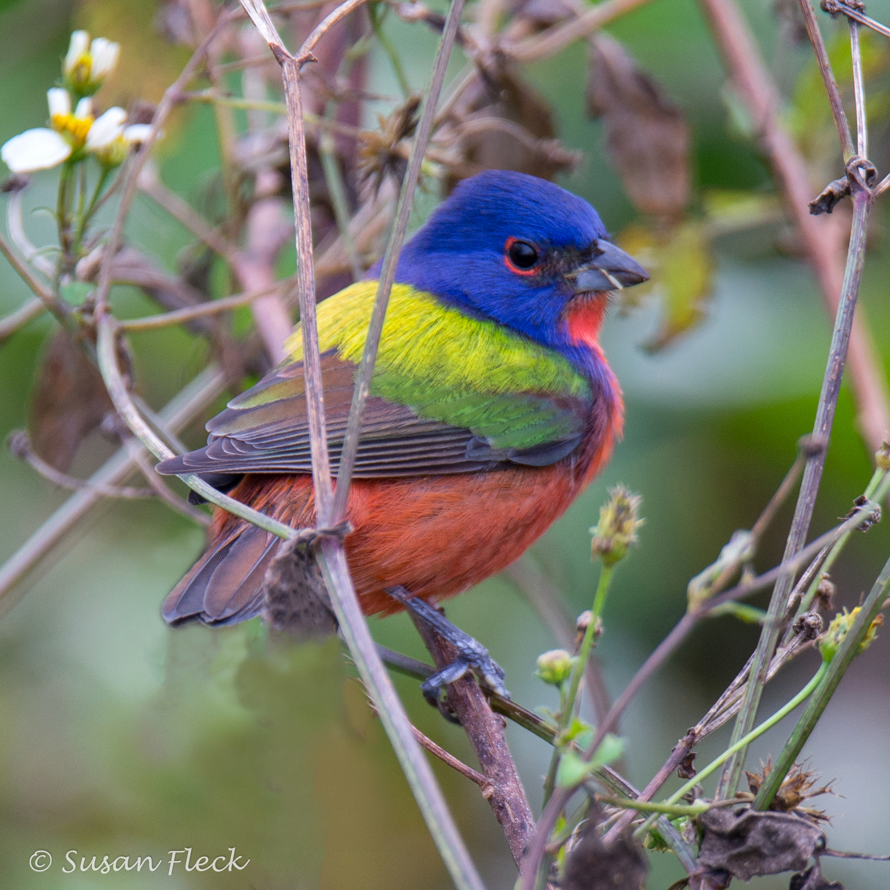 All About Painted Buntings  Birds and Blooms